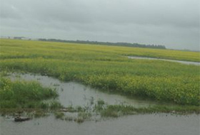 waterlogged canola