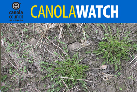 Canola Watch - Spring Weeds