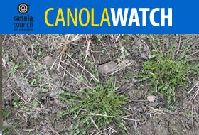 Canola Watch - Spring Weeds
