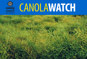 swathing lodged canola