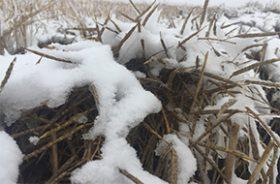 snow-canola