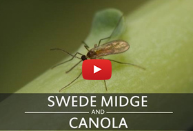 swede midge and canola video